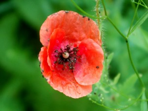 Rapsglanzkäfer in Mohn