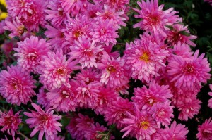 Chrysanthemen purpur