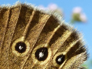 Schmetterling Detail